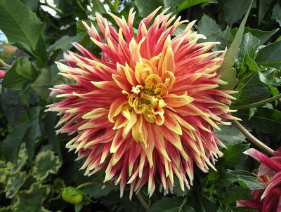 Dahlia on Bainbridge