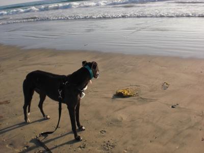 CC beachdog