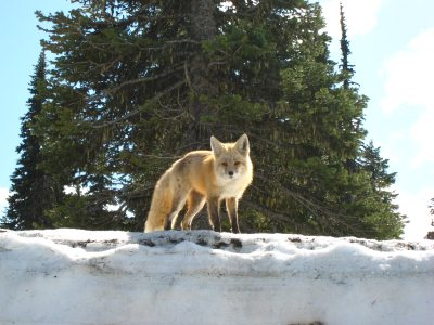 a Fox at Mt Rainier National Park